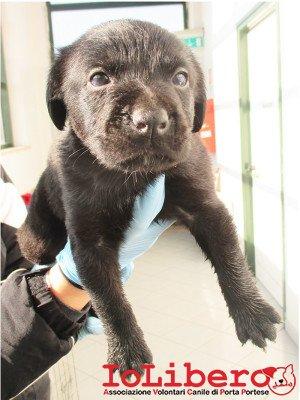 matr. 151.16 meticcio nero maschio cucciolo entrato il 26.1.16 da V. F. Conti 101 op
