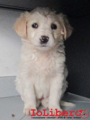 matr 300.16 meticcio cucciolo biancoarancio femmina entrato 18.2.16 via fosso della solfatara op (4)
