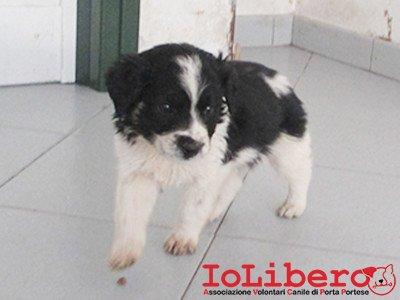 matr. 295.16 meticcio cucciolo bianco nero maschio entrato 18.2.16 via fosso della solfatara op (6)