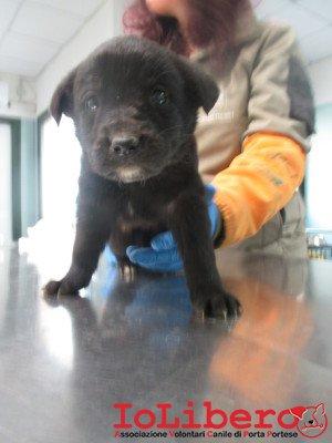 matr. 361.16 meticcio nero cucciolo femmina entrata il 1.3.16 da V. Ardeatina op