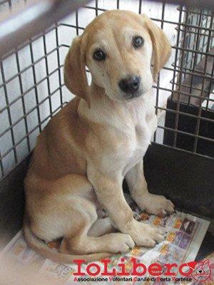 matr. 368.16 meticcio avana maschio cucciolo entrato 3.3.16 via donegani op (2)