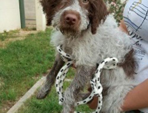 IN AFFIDO Cucciolo di spinone italiano bianco e marrone, poi si dice che al canile non ci sono cani di razza!