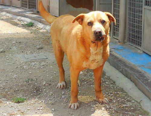 ciao Miele, un cane maturo con una brutta storia nel suo passato.