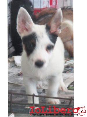 matr. 1187.16 meticcio tricolore maschio cucciolo entrato il 11.7.16 da Campo Rom Candoni