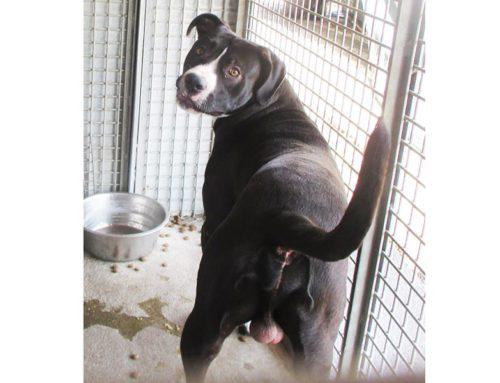 IN AFFIDO: Pittbull nero e bianco maschio trovato in Via Lemonia