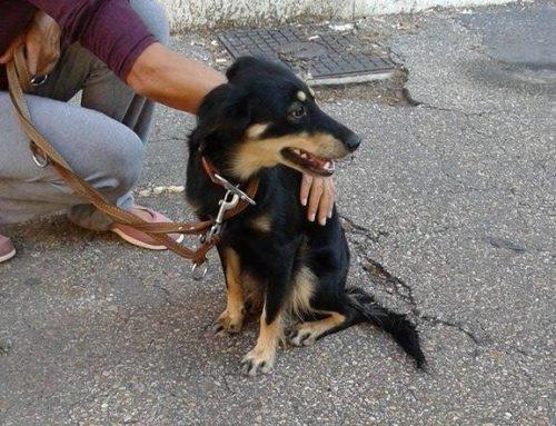 03/09/2016 Trovata in zona Porta Furba (Rm) cane nero focato femmina giovane. No microchip.