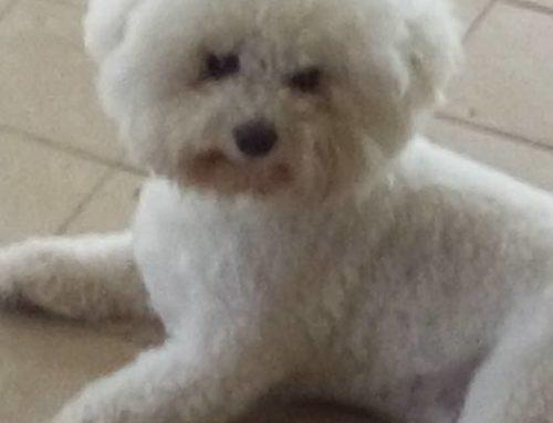 RITROVATO! 02/09/2016 Urgente! Smarrito a Nettuno (Rm) LUCKY, bichon frisè maschio di 2 anni. Manto bianco. No collare. Microchip.