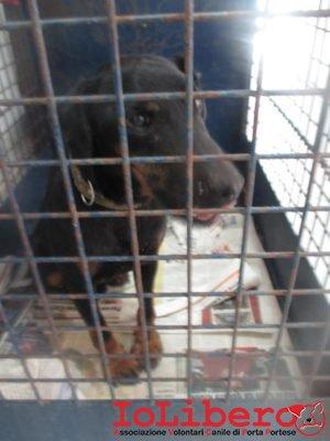 m-1626-16-jack-jagd-terrier-maschio-nero-focato-enttrato-5-9-16-via-casale-porta-medaglia-mcp-688050000126014