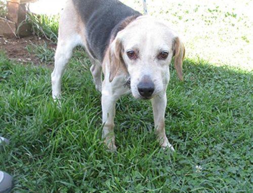 TRASFERITO FRAPPO: Beagle maschio tricolore