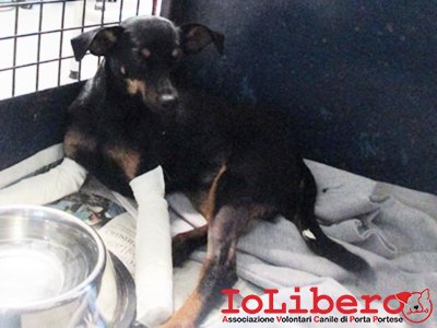 m-1969-16-pinscher-femmina-nero-focata-entrata-21-10-16-via-f-d-ovidio-co-cliniuca-veterinario