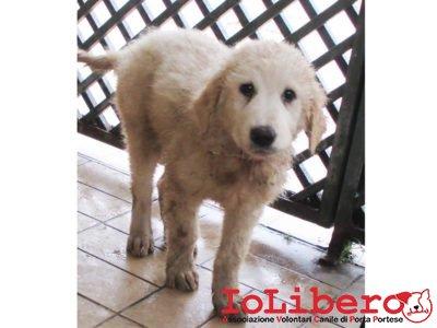 matr-2003-16-maremmano-abruzzese-bianco-maschio-cucciolo-entrato-il-27-10-16