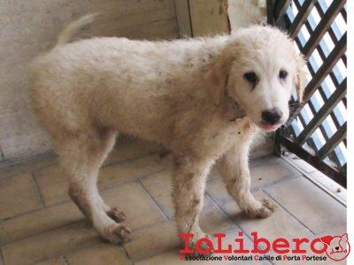 matr-2005-16-maremmano-abruzzese-bianco-femmina-cucciolo-entrato-il-27-10-16
