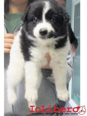matr-2058-16-meticcio-nero-bianco-maschio-cucciolo-entrato-il-2-11-16-da-v-fernando-conti-op
