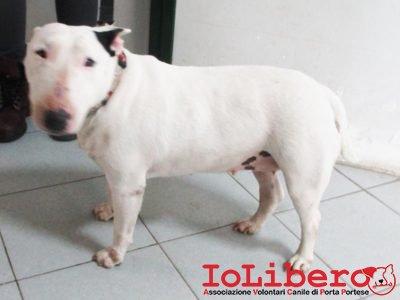 a-t-m-2289-16-bull-terrier-femmina-bianco-entrato-5-12-16-ospeda-le-cavalieri-di-malta-mcp-972274000049184
