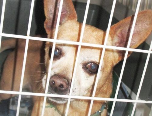 ANGELO: simil chihuahua maschio trovato in Via Capo delle Armi