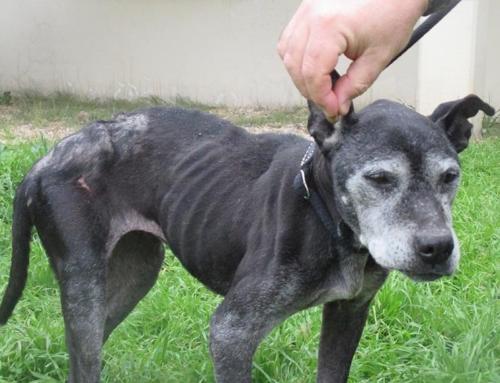 Pitbull femmina nero trovato in Via Giovanni Franzoni 24 di 13 anni