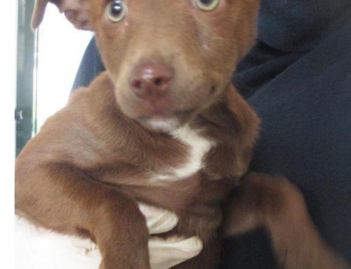 Che bel cucciolotto marrone e bianco. IN AFFIDO TEMPORANEO